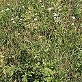 Wiesen-Bärenklau Heracleum sphondylium 2290.jpg