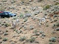Wild Burros - panoramio.jpg