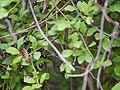 Wild Caper bush (5849181382).jpg