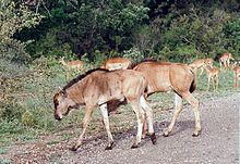 Roaming wildebeests