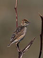 Wing-snapping cisticola, Cisticola ayresii, at Suikerbosrand Nature Reserve, Gauteng, South Africa (22656002731).jpg