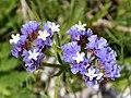 Winged Sea Lavender. Limonium sinuatum (32303685205).jpg