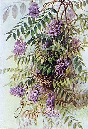Wisteria frutescens - Wisteria frutescens by Ellis Rowan, 1901