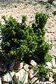 Withania frutescens kz16.jpg