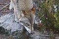 Wolf (6844402456).jpg