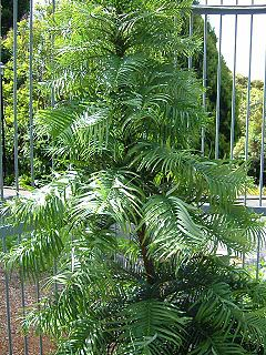 <i>Wollemia</i> species of plant from Australia