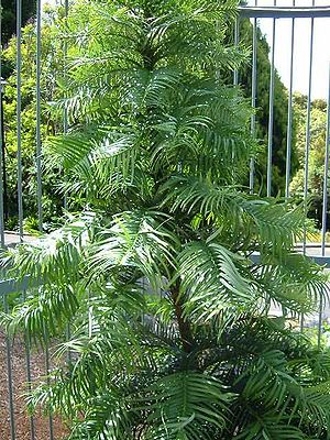 Australian Botanic Garden Mount Annan - Wollemi Pine protected by a steel cage