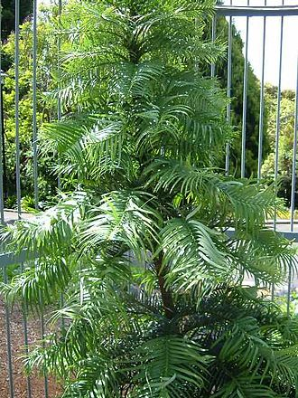 Wollemia - Young specimen in a botanical garden protected from theft by a steel cage