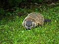 Woodchuck offspring in our yard (5826407486).jpg