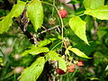 Woodlot NW of Kornilovo - raspberries - DSCF5595.JPG