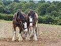 Working horses at Muckross traditional farms, Killarney, Co. Kerry, Ireland.jpg
