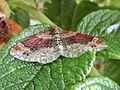 Xanthorhoe spadicearia (Geometridae sp.), Texel, the Netherlands.jpg