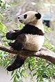 Xiao Liwu im San Diego Zoo - Foto 4.jpeg