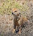 Yellow Mongoose (Cynictis penicillata) (33029647205).jpg