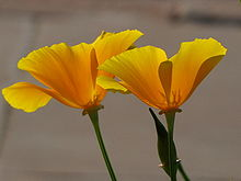 Poppy wikipedia yellow or california poppy in new delhi india mightylinksfo