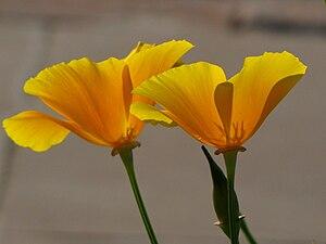 Poppy - Yellow or California poppy in New Delhi, India