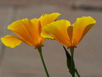 Poppy - Yellow or California poppy in New Delhi, India