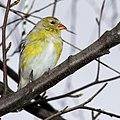 Yellow bird in branches (17094983290).jpg