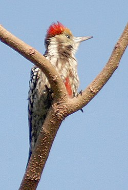 Yellow crowned woodpecker (Male) Im IMG 9624 (cropped).jpg