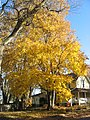 Yellow maple in the Prospect Hill Historic District.jpg