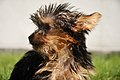 Yorkshire Terrier looking to the left.jpg