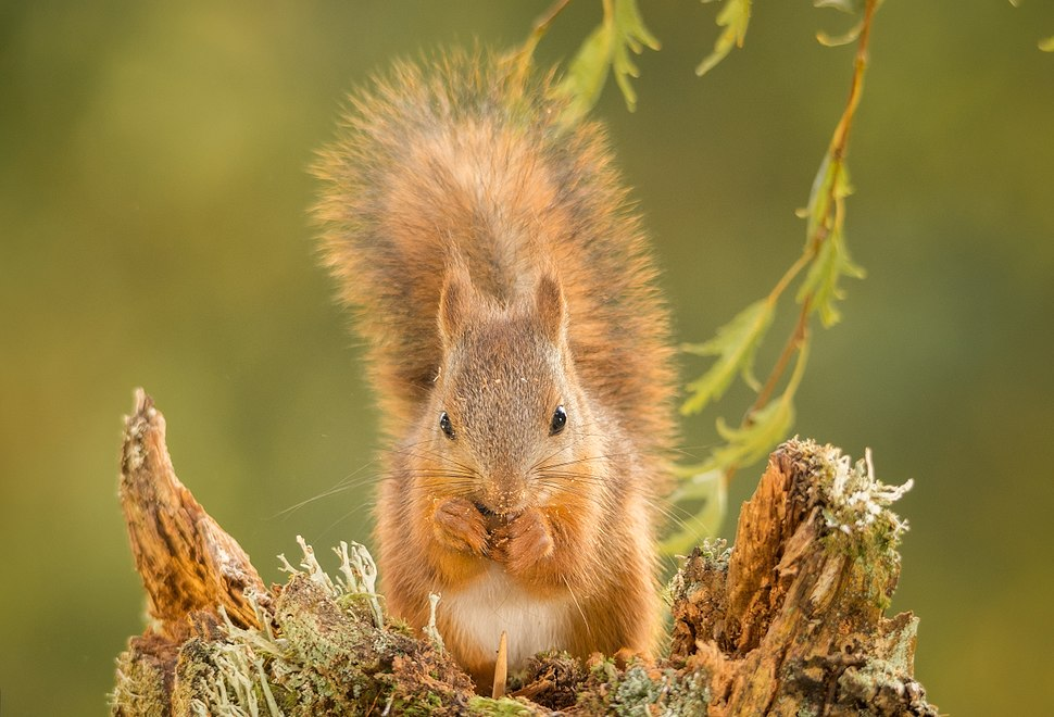 Young-red-squirrel