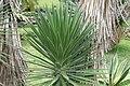 Yucca aloifolia 3zz.jpg