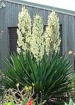 Yucca filamentosa.jpg