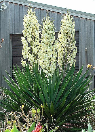 Yucca - Yucca filamentosa naturalized in New Zealand