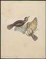 Yunx indica - 1820-1860 - Print - Iconographia Zoologica - Special Collections University of Amsterdam - UBA01 IZ18800361.tif