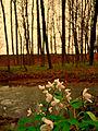Zapalice žluťuchovitá pravidelně vykvétá v jarním období i v PR Hvozdnice.JPG