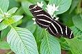 Zebra Longwing (Heliconius charithonia) (19038299491).jpg
