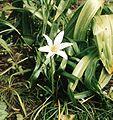 Zephyranthes atamasco.jpg