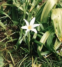 Zephyranthes atamasco.jpg