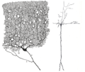 Zwei Verschiedene Neurone.png