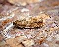 (1150) Epinotia abbreviana (34941755223).jpg