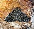 (1940) Satin Beauty (Deileptenia ribeata) (28058270465).jpg