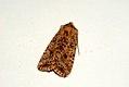 (2260) Dotted Chestnut (Conistra rubiginea) (3437518871).jpg
