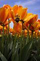(3) Tulips at Skagit Valley Bulb Farm.jpg
