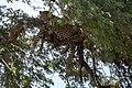 (Carnivora Felidae) Panthera pardus ♂, Leopard (33356167918).jpg