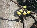 (Couroupita guianensis) at Kakinada Gandhinagar park 10.JPG