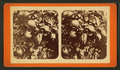 (Oranges) Florida, from Robert N. Dennis collection of stereoscopic views.png