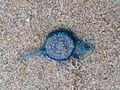 (Porpita porpita) Blue button at Thotlakonda Beach 04.JPG