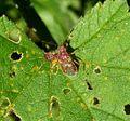 (Rhopalus subrufus^)(Hemiptera, Heteroptera, Rhopalidae) - Flickr - gailhampshire.jpg