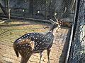(Sitesh Babu's Zoo) Maya horin 1.jpg