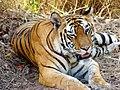 *Wink* *Wink* Tigers in Bandhavgarh!.jpg