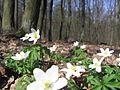 Łagiewniki Forrest in Spring 2.jpg