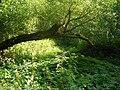 Было такое дерево через тропинку - panoramio.jpg
