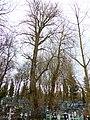 Все старые деревья на Рождественском кладбище 01.jpg