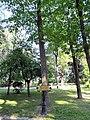 Гомель. Парк. Дуб красный. Фото 02.jpg